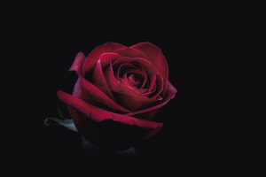 Rose Oled 8k Wallpaper