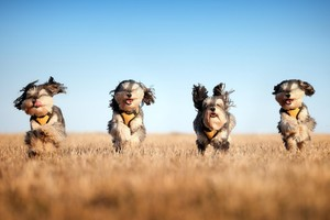 Running Dogs Wallpaper