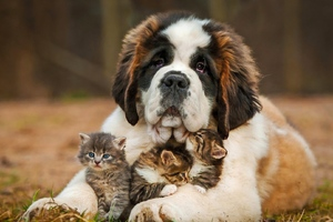Saint Bernad Playing With Kittens