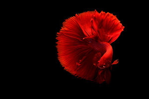 Siamese Fighting Fish 4k Wallpaper