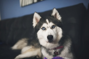Siberan Husky 2 Wallpaper