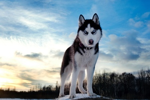 Siberan Husky 4 Wallpaper