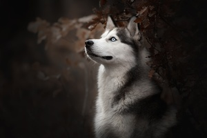 Siberian Husky Dog Breed Wallpaper