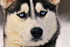 Siberian Husky Eyes Wallpaper
