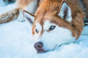 Siberian Husky In Snow Wallpaper
