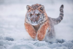 Siberian Tiger In Snow Wallpaper