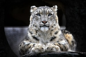 Snow Leopard 2 Wallpaper