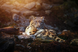 Snow Leopard Wild Animal Wallpaper