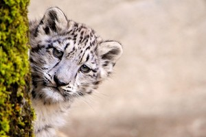 Snow Leopard Young Wallpaper