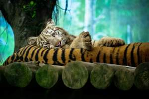 Tiger Amazing Photography Wallpaper