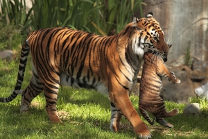 Tiger Carrying Cubs Wallpaper