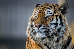 Tiger Closeup 4k