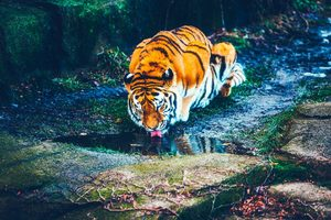 Tiger Drinking Water HD Wallpaper