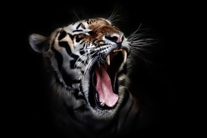 Tiger Open Mouth Wallpaper