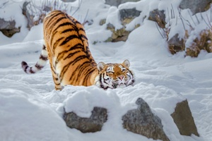 Tiger Snow Wallpaper