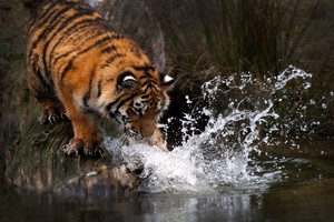 Tiger Water 4k Wallpaper