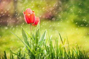 Tulip Rain HD Wallpaper