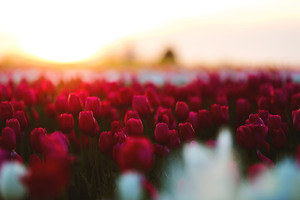 Tulips Flowers Field Wallpaper