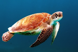 Turtle Reptile Underwater Wallpaper