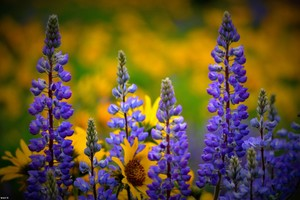 Washington Wild flowers Wallpaper