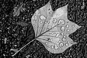 Water Droplets On Leaf Monochrome Wallpaper