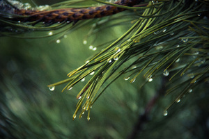 Water Drops On Green Pine 4k Wallpaper