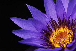 Water Lilies Macro Photography Wallpaper