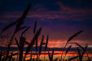 Wheats During Dawn In Landscape Photography Wallpaper