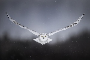 White Snow Owl Flying