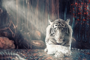White Tiger Dreamy Wallpaper