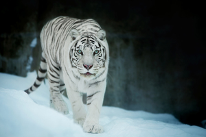 White Tiger In Snow Wallpaper