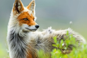 Wild Fox Art Wallpaper
