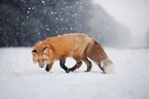 Wild Fox In Snow Wallpaper