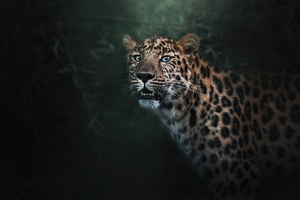Wild Jaguar Wallpaper
