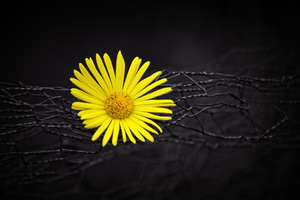 Yellow Flower Fence Dark Black Background Wallpaper