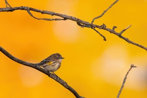 Yellow Rumped Warbler Wallpaper
