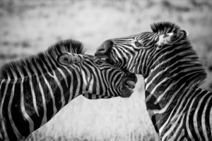 Zebras Black And White 4k