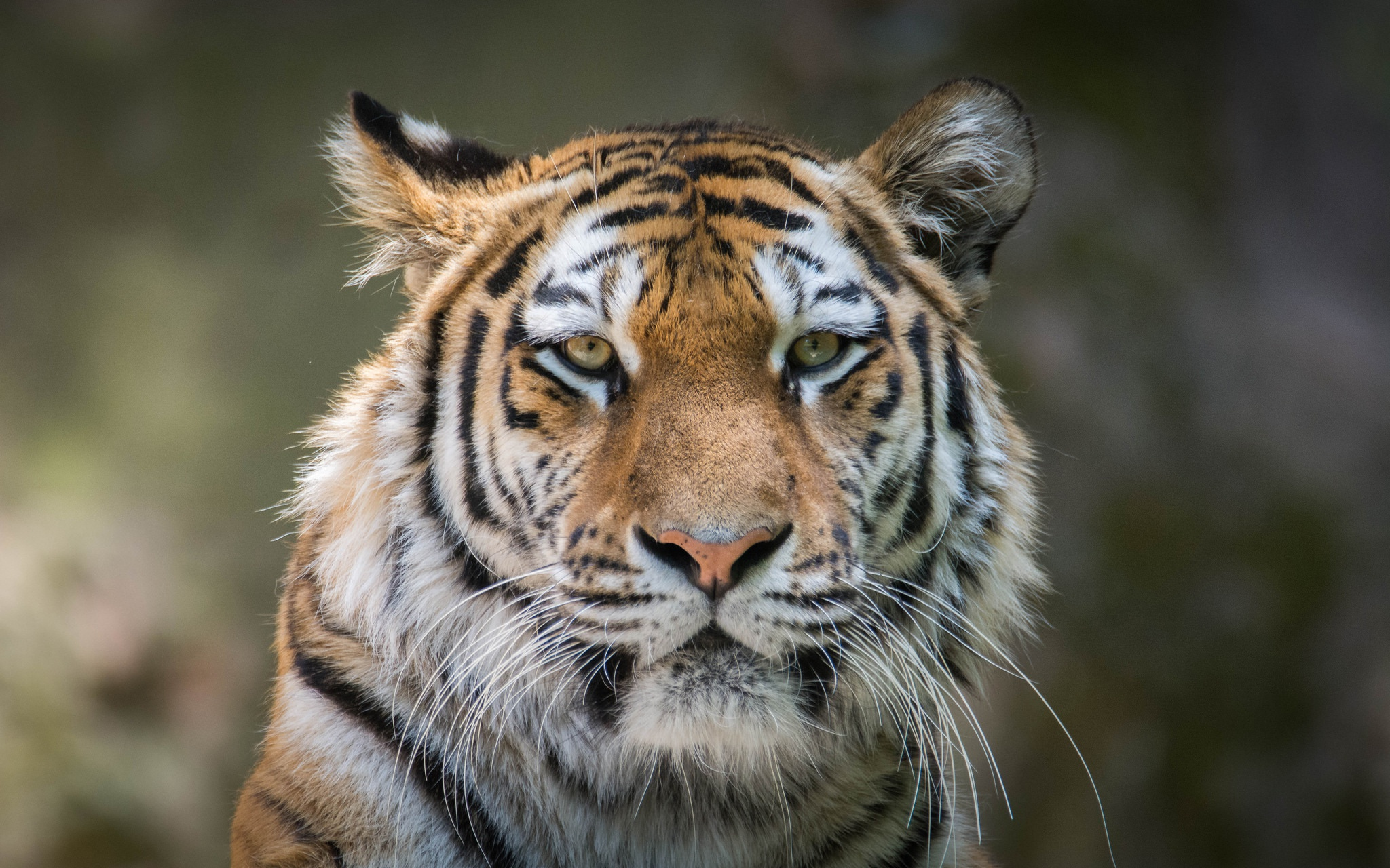tiger 4k hd, hd animals, 4k wallpapers, images, backgrounds, photos