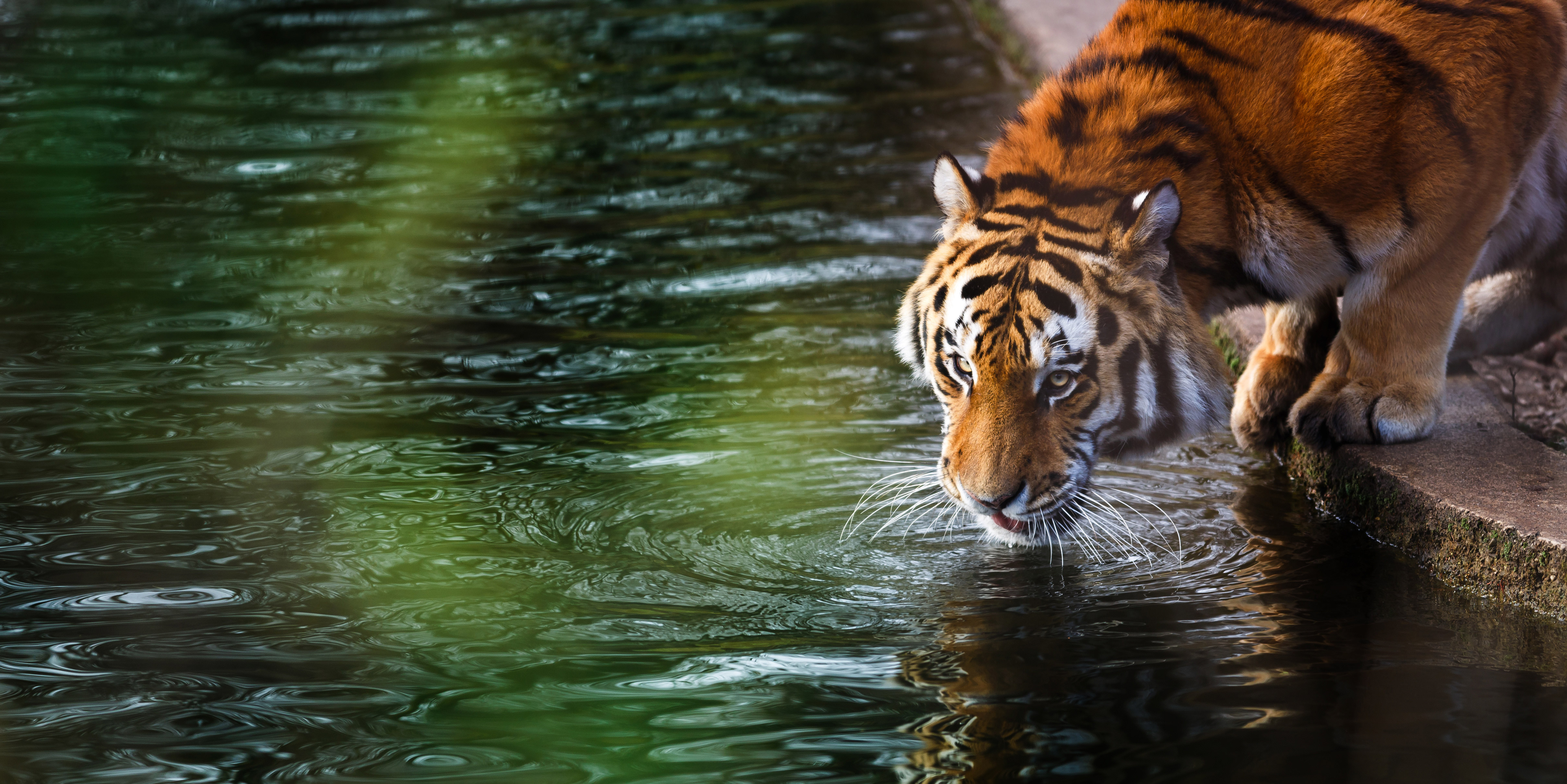 tiger 4k hd animals 4k wallpapers images backgrounds