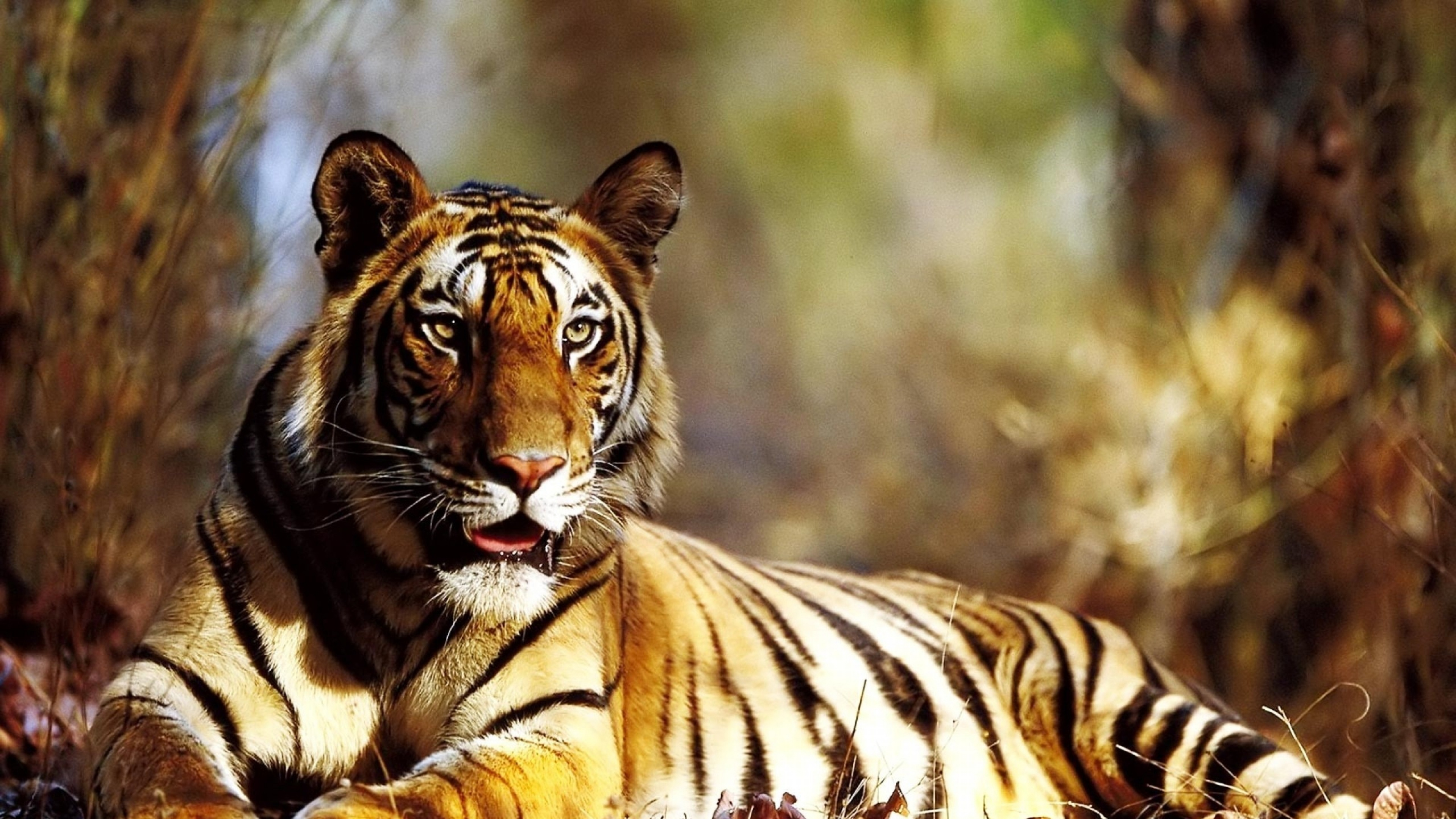 Tiger Autumn HD Animals 4k Wallpapers Images Backgrounds Photos