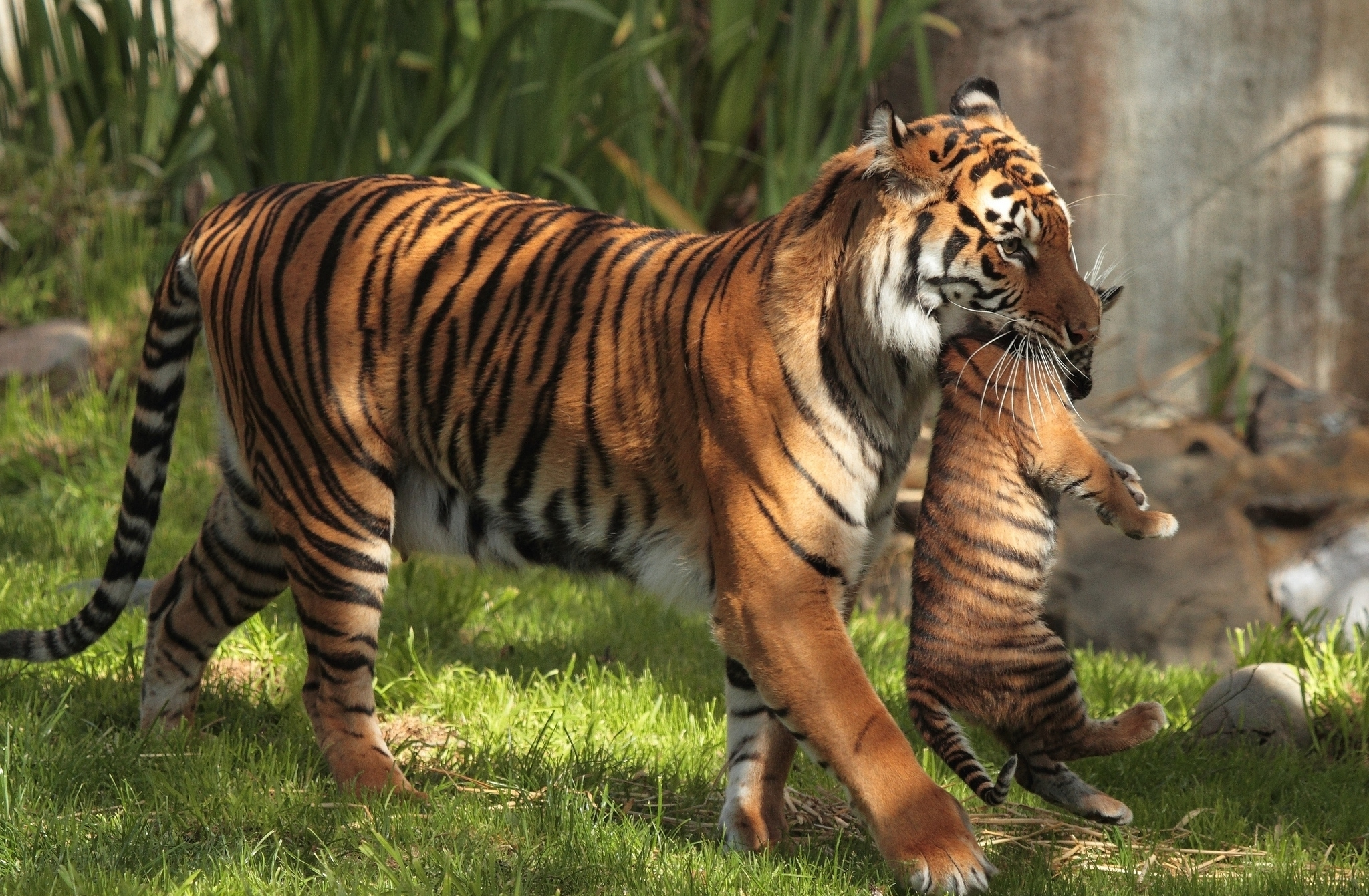 Tiger Carrying Cubs