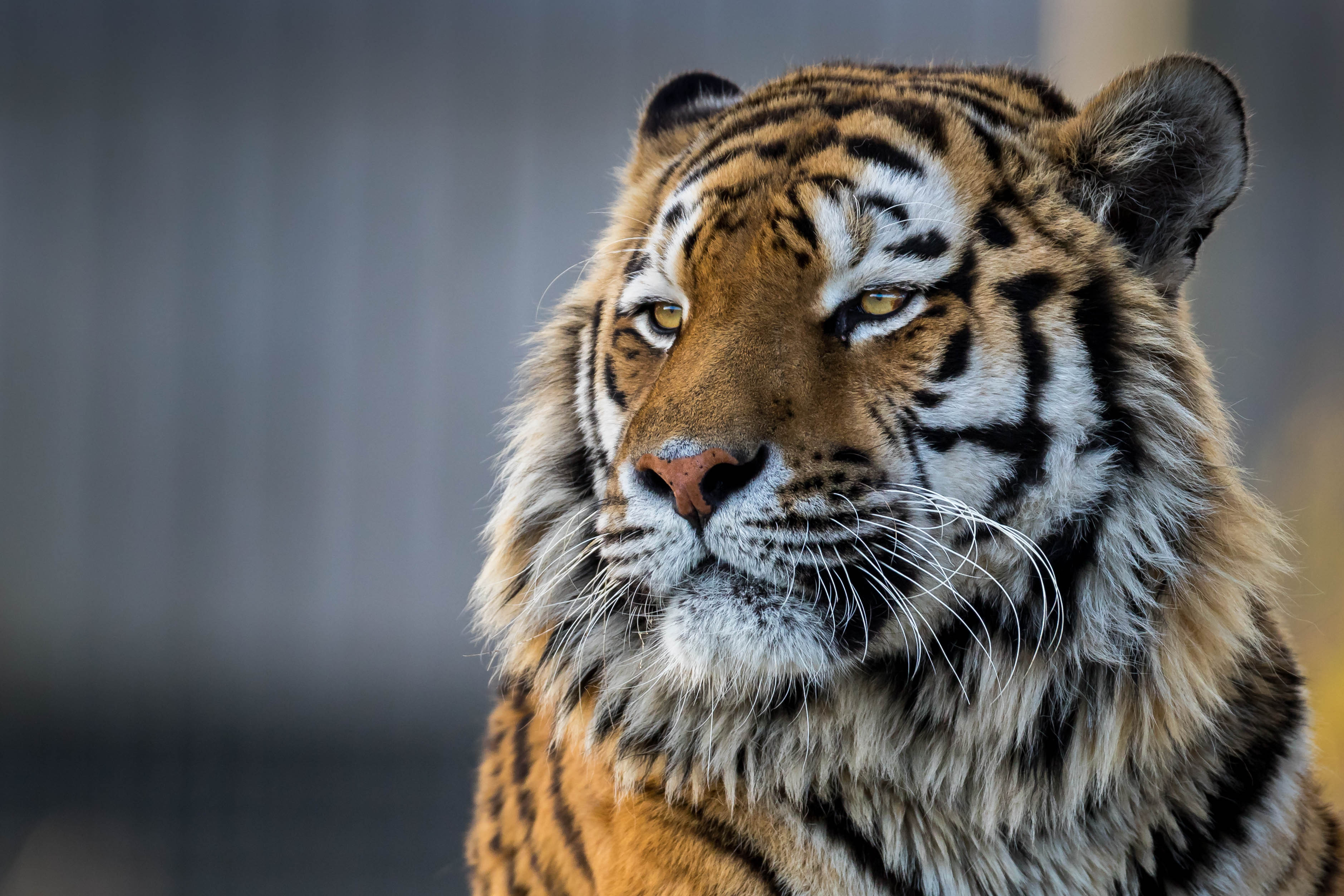 Tiger Closeup 4k, HD Animals, 4k Wallpapers, Images ...