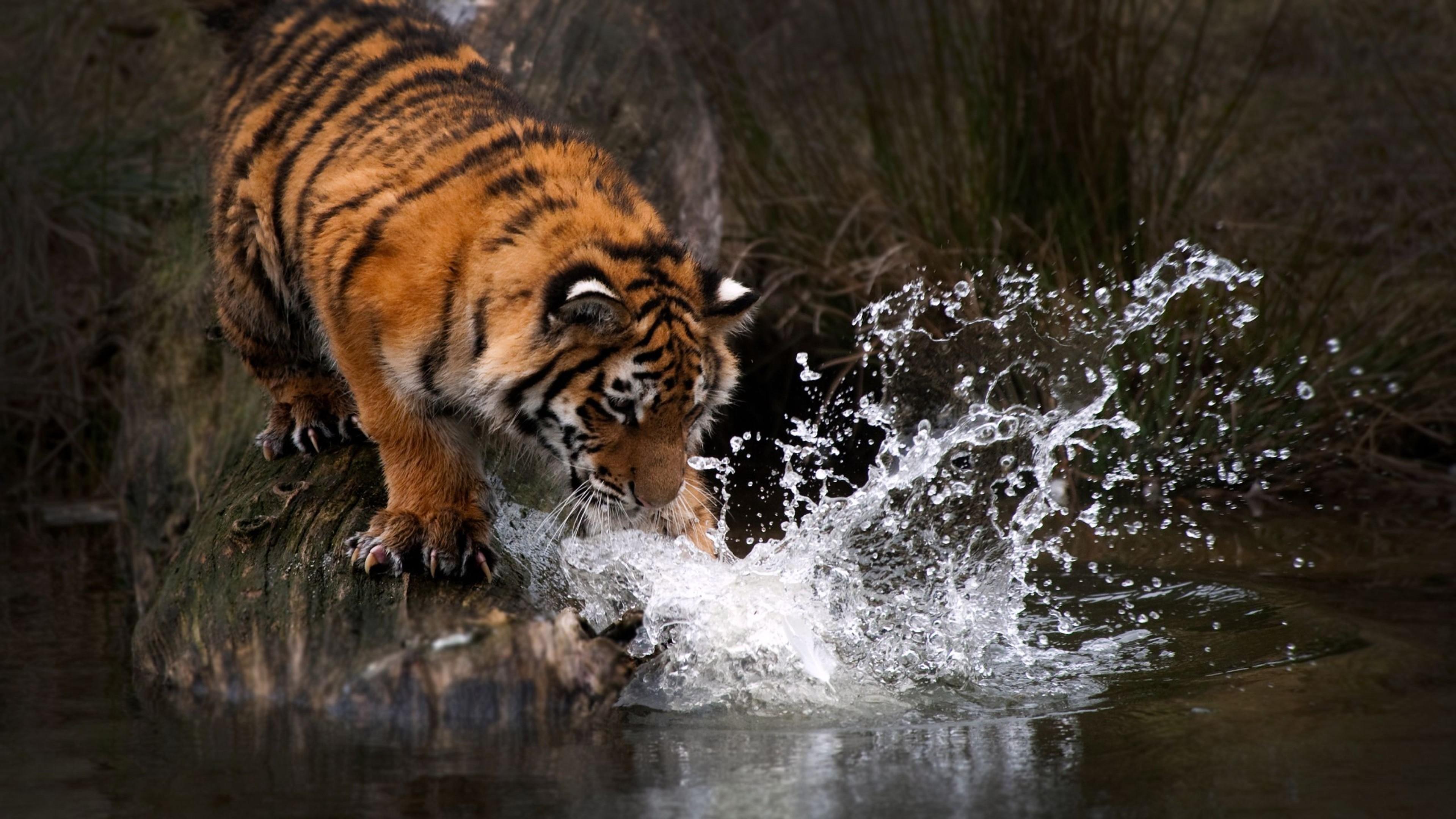 8k Animal Wallpaper Download: Tiger Water 4k, HD Animals, 4k Wallpapers, Images