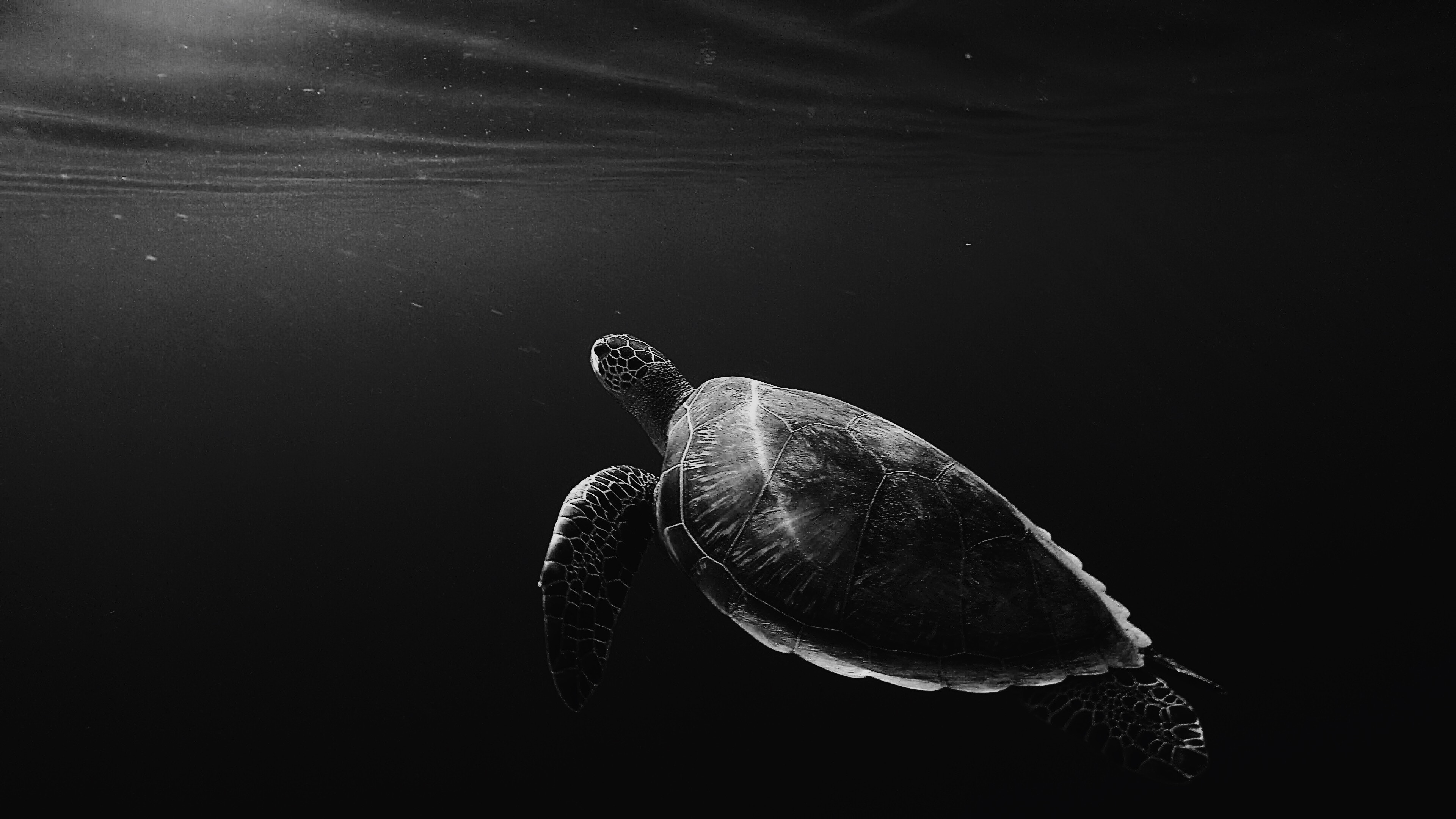 Turtle Oled 4k Hd Animals 4k Wallpapers Images