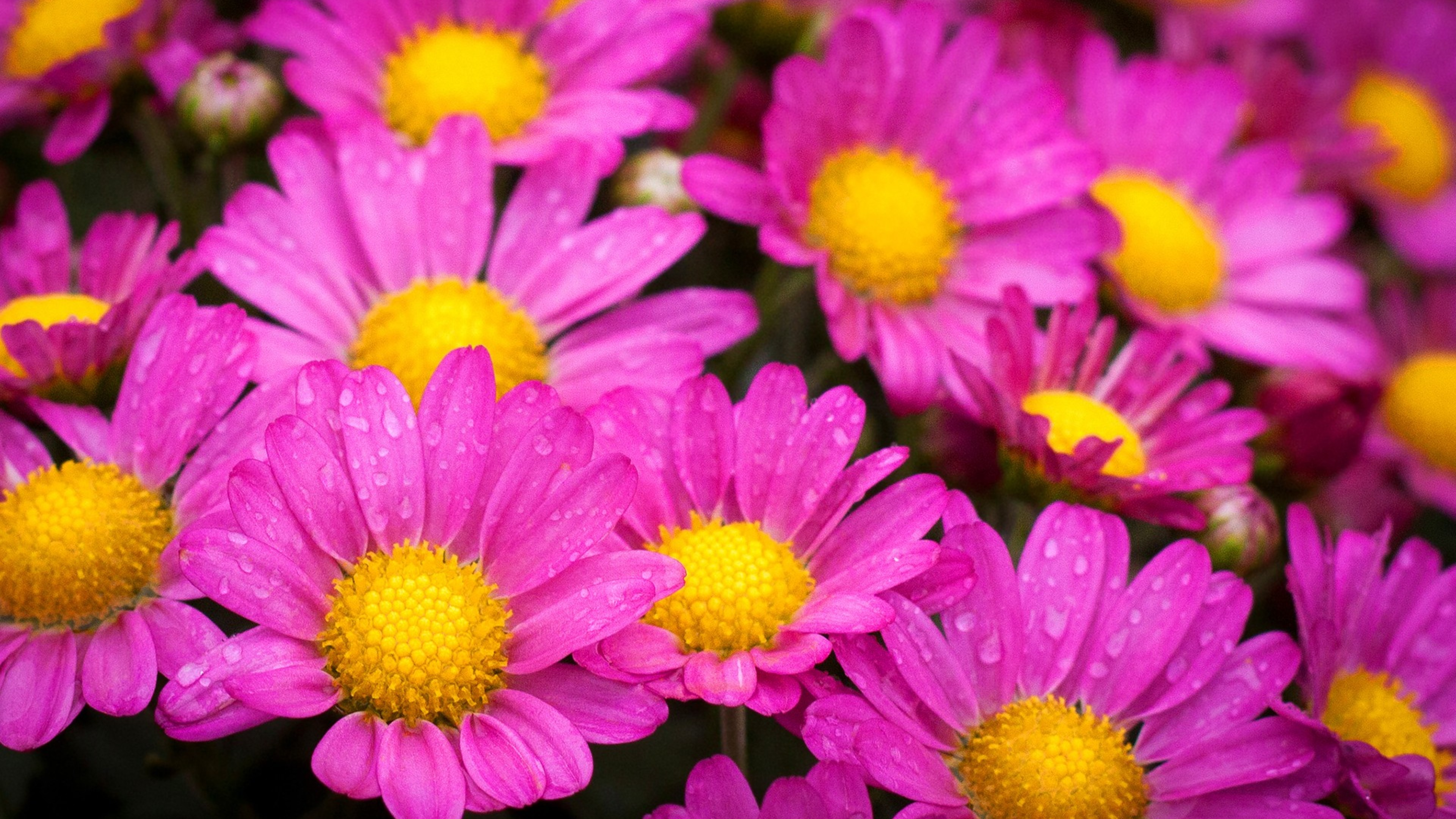 Water Drops On Pink Daisies