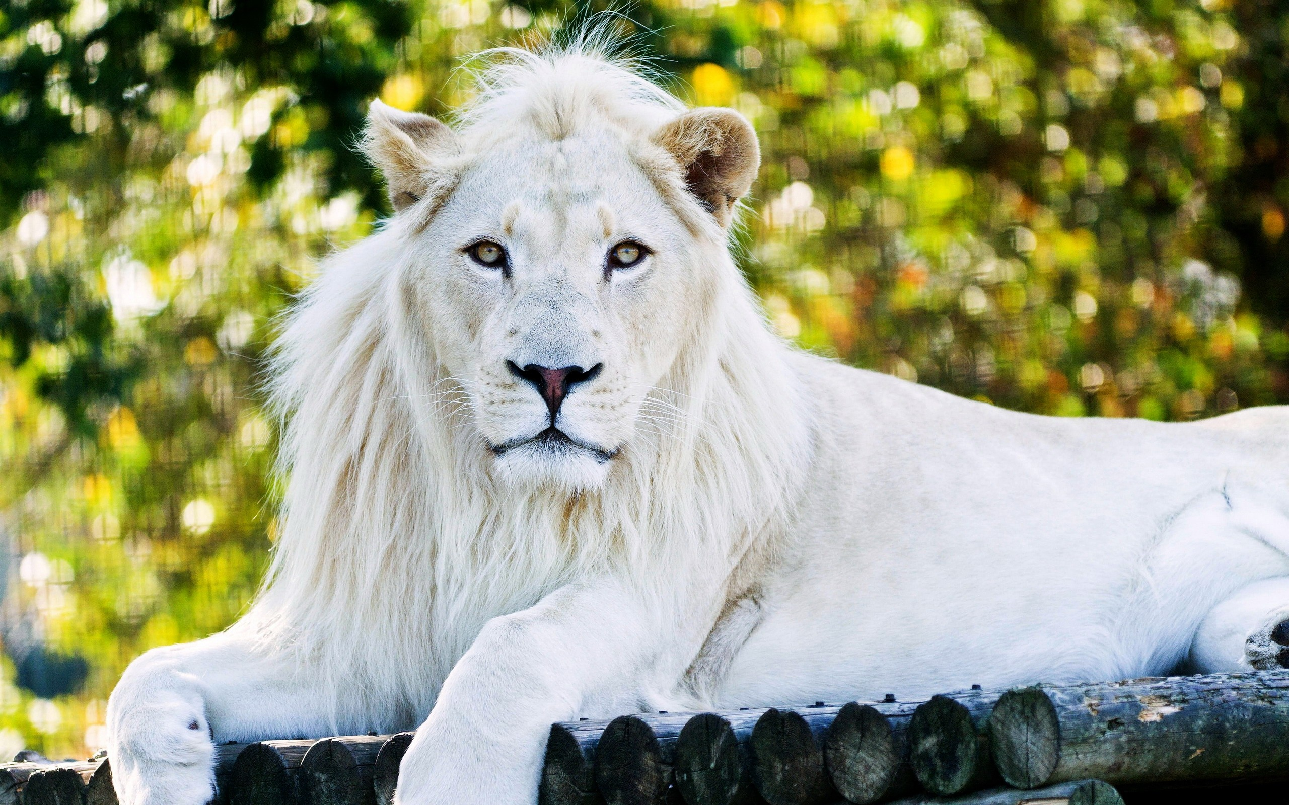 White Lion Laptop HD