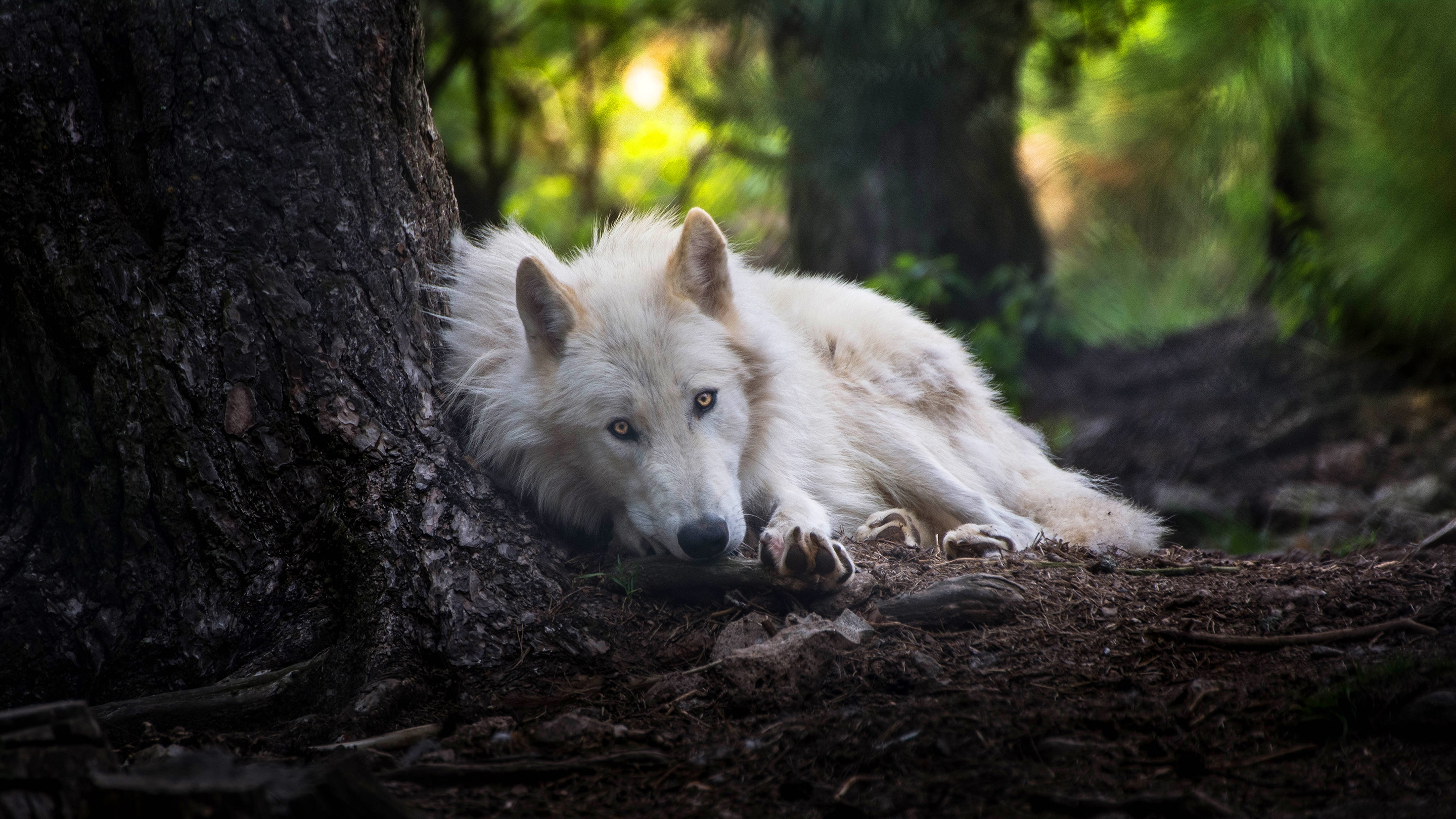 White Wolf, HD Animals, 4k Wallpapers, Images, Backgrounds