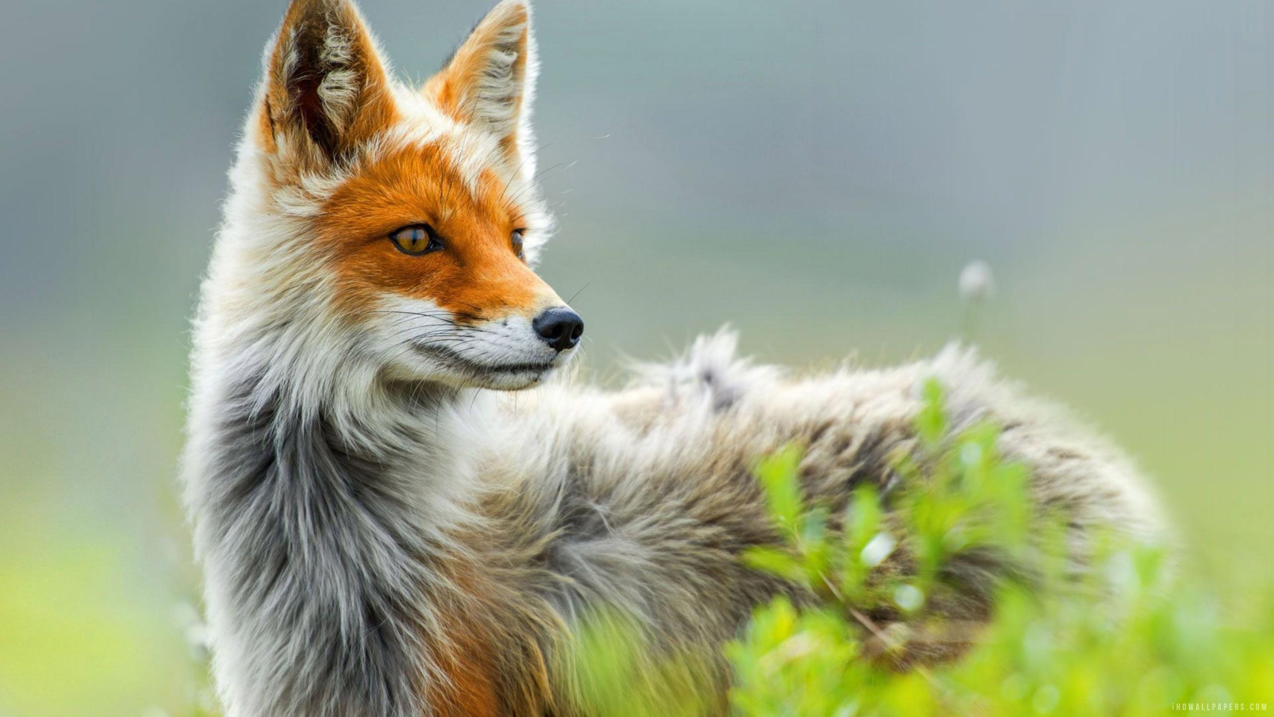 Wild Fox Art, HD Artist, 4k Wallpapers, Images