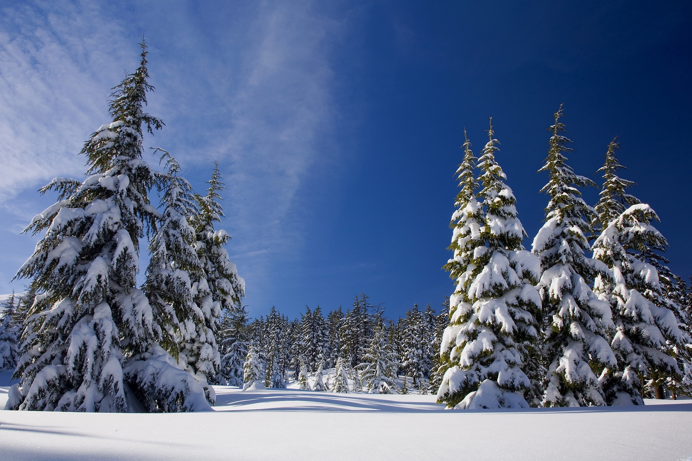 Winter snow pine trees hd nature 4k wallpapers images - Images of pine trees in snow ...