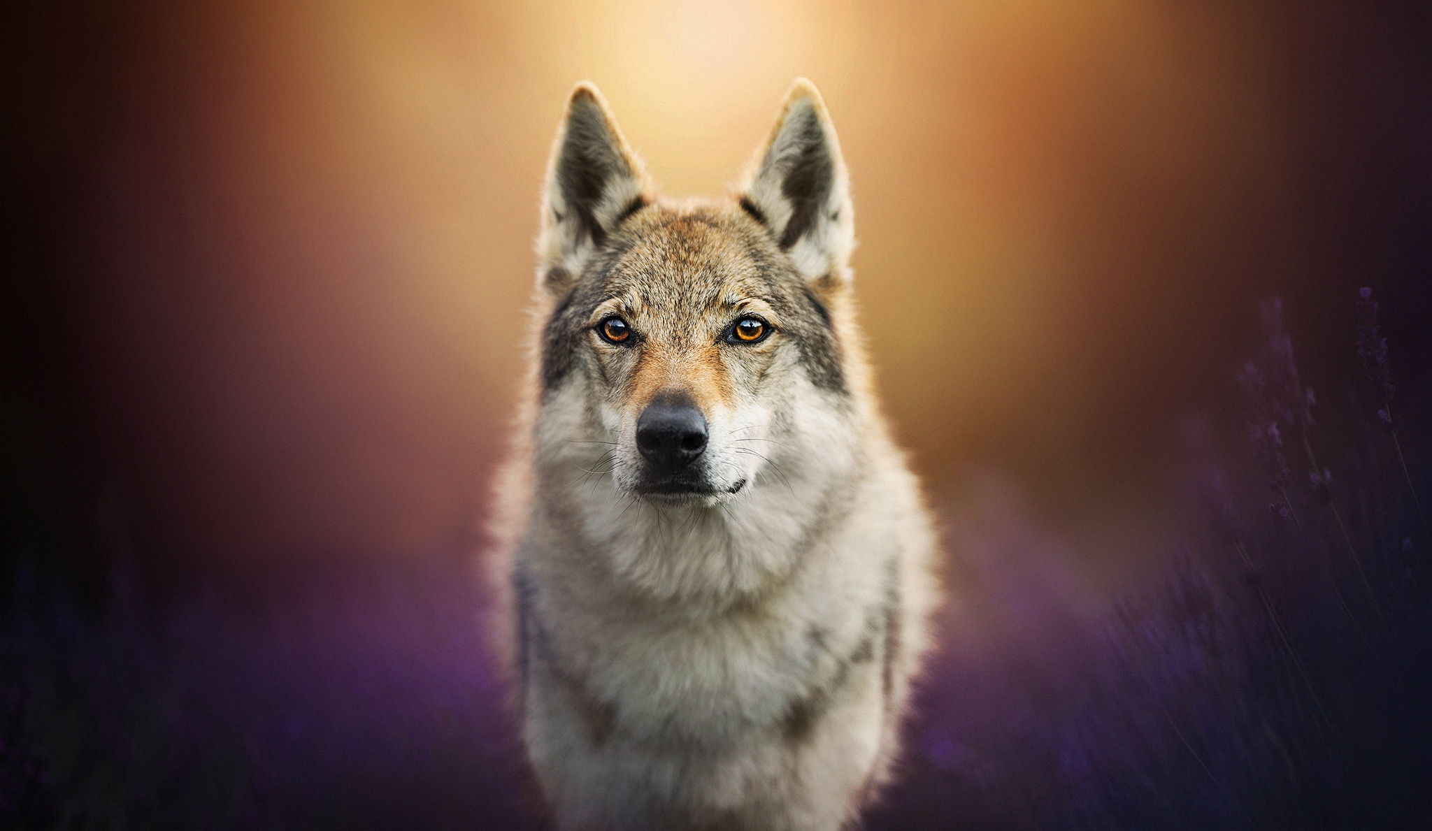 Wolf Dog Hd Animals 4k Wallpapers Images Backgrounds